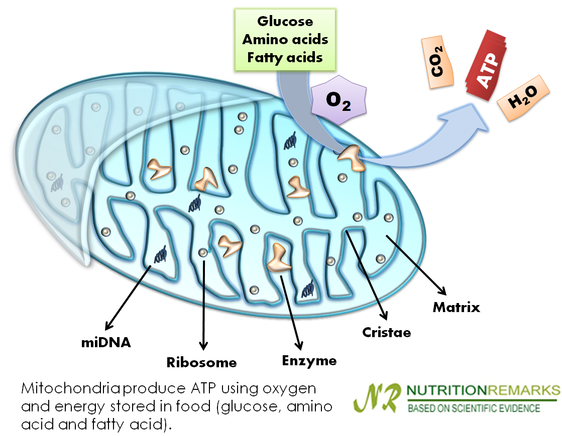 Mitochondria produce ATP using oxygen  and energy stored in food (glucose, amino acid and fatty acid)
