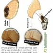 Whole grain food contain all three parts of the kernel while Bran and Germ parts are mostly removed in refine grain food