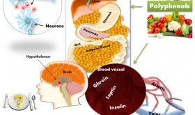 Dietary polyphenols may regulate food intake due to potential effects on certain brain regions (hypothalamus),  nervous system (neuroregulators), adipose tissue, digestive system and metabolism related hormones (Ghrein, Leptin, and Insulin)