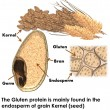 The Gluten protein is mainly found in the endosperm of grain Kernel (seed)